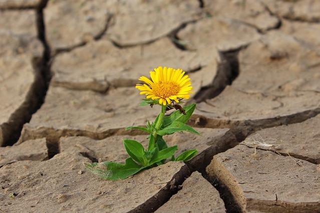 Na zdjęciu zeschnięta, spękana ziemia. W jednej ze szczelin rośnie mały kwiatek.